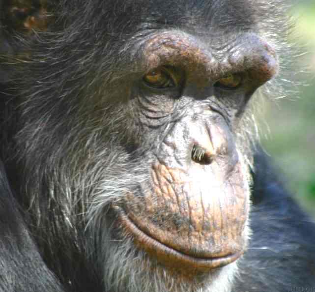 mature chimpanzee