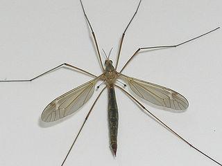 Tipulidae