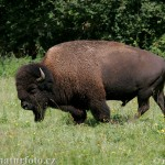 Leaning Bison