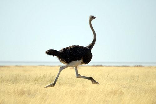 Running ostrich
